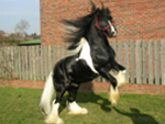 Click here to see our selection of Stallions for Sale